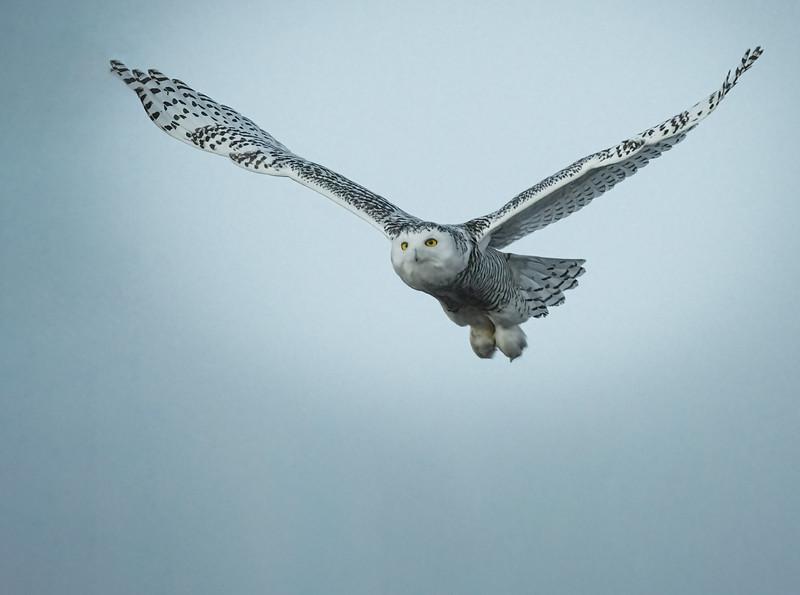 _6000926-Edit Snowy Owl wide wings.jpg