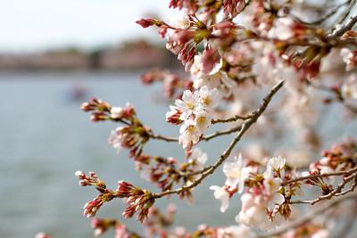 DC Cherry Blossoms - 2016