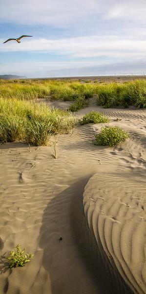 Dune Gull