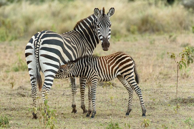 Plains Zebra nurisng foal