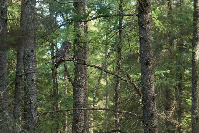 Great Gray Owl McDavitt Rd Sax-Zim Bog MN IMG_0058163.jpg