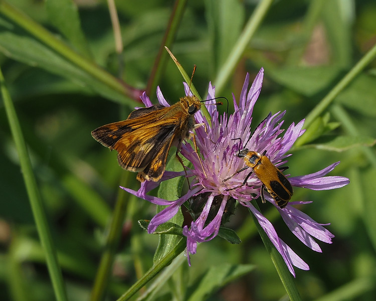 Peck's Skipper and Goldenrod Soldier Beetle