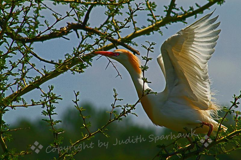Cattle Egret Nesting1.jpg