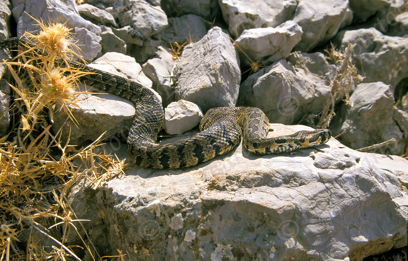 Palestine viper - Daboia palaestinae - צפע מצוי