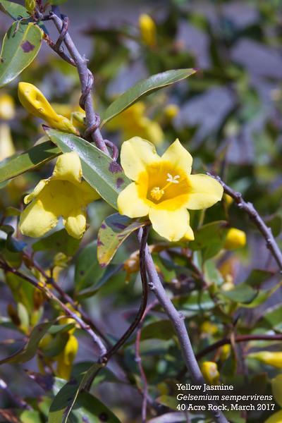 yellow jasmine 1.jpg