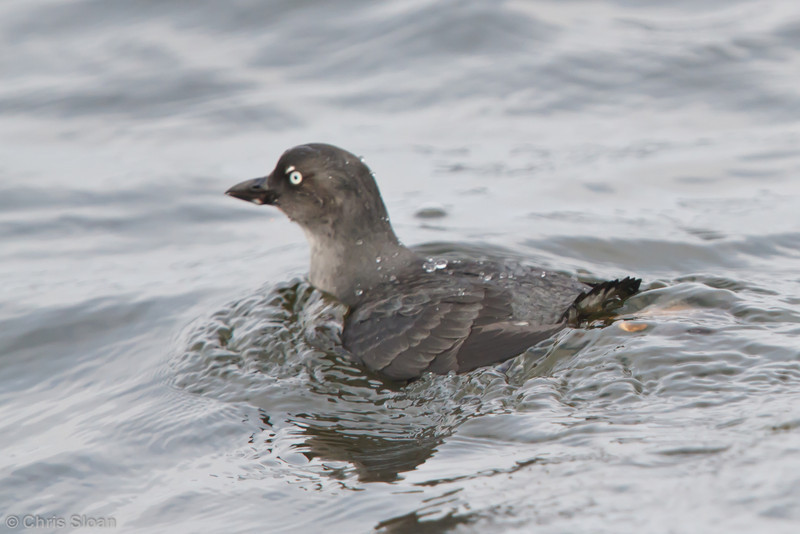 Cassin's Auklet at pelagic out of Bodega Bay, CA (10-15-2011) - 433.jpg