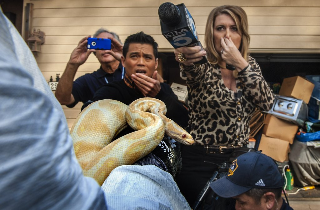 """. <p><b> Reporters in Southern California last week needed gas masks to block the acrid stench they encountered while covering � </b> <p> A. A house full of dead pythons <p> B. The discovery of recently buried murder victims <p> C. The Lakers <p><b><a href=\'http://www.nbclosangeles.com/news/local/Pythons-Hoarding-Santa-Ana-Animal-Cruelty--Snake-Arrested-242593641.html\' target=\""""_blank\"""">HUH?</a></b> <p>     (AP Photo/The Orange C ounty Register, Bruce Chambers)"""