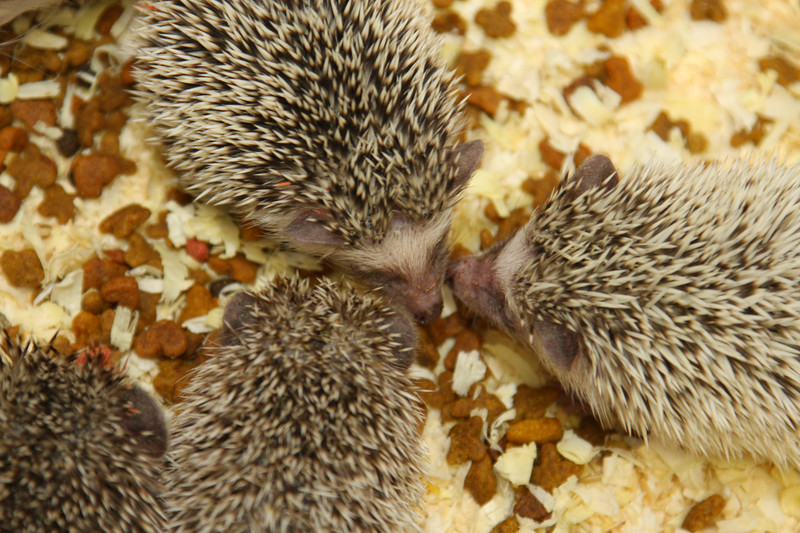 Hedgehog Babies (02/07/2010)  Circle of Friends  Filename reference: 20100207-013207-HAH-Hedgehog_Babies-SM