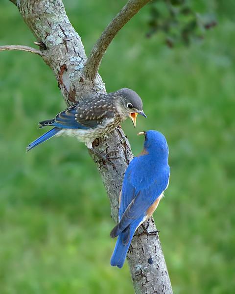 sx40_bluebird_fledgling_ben_115.jpg