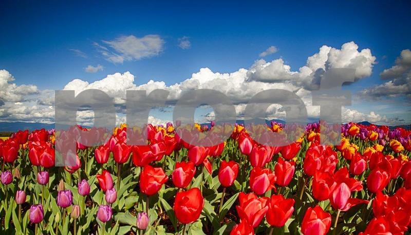Tulips, Skagit 3967_HDRc.jpg