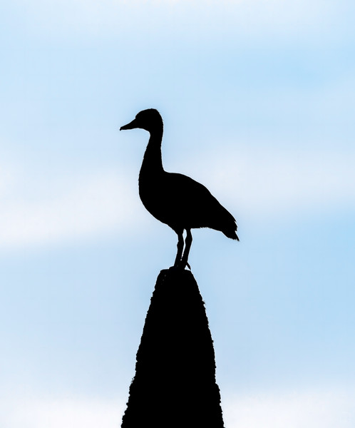 Black-bellied whistling duck silhouette