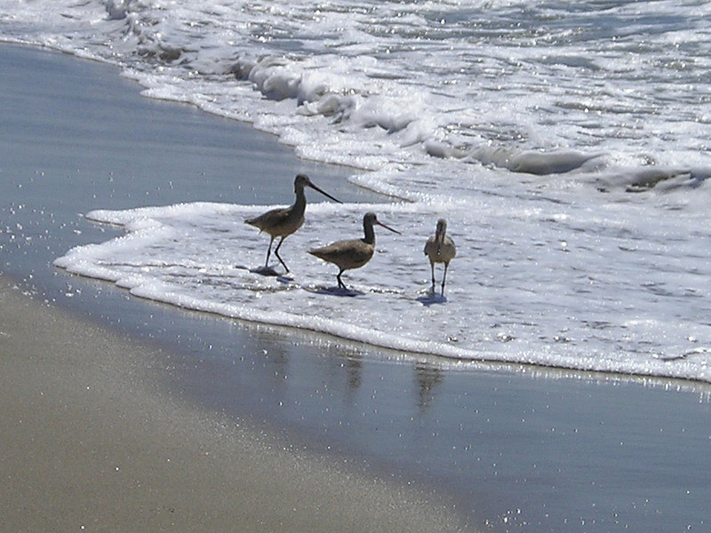 Friend Sharon knew what all the birds were and told me, and I promptly forgot. These guys trotted in and out with the waves, checking the sand for morsels.