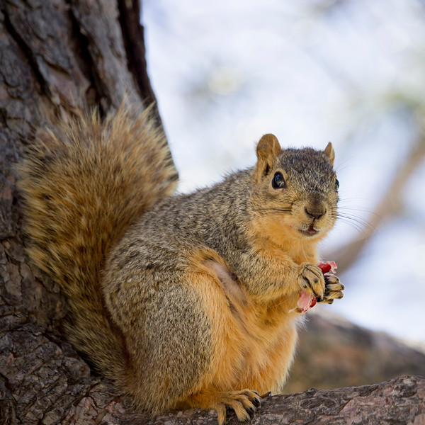 squirrel - strawberry.jpg