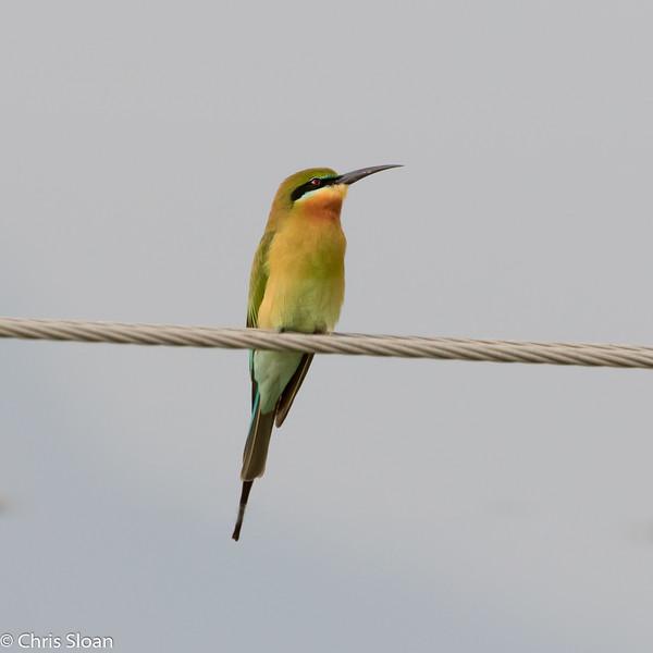 Blue-tailed Bee-eater near Banyan Tree, Tamil Nadu, India (02-28-2015) 062-95-Edit.jpg