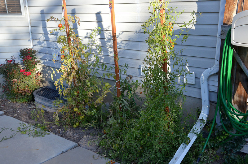 2012-10-8 ––– The cold nights are starting to wipe out my tomato plants. They are still loaded but once we get that first freeze it will be the end of the season.