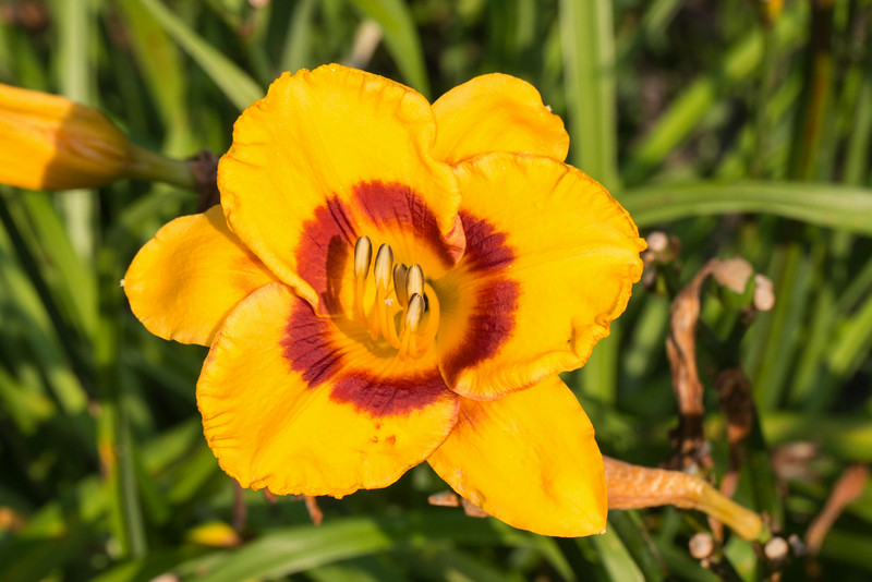 Fooled Me daylily