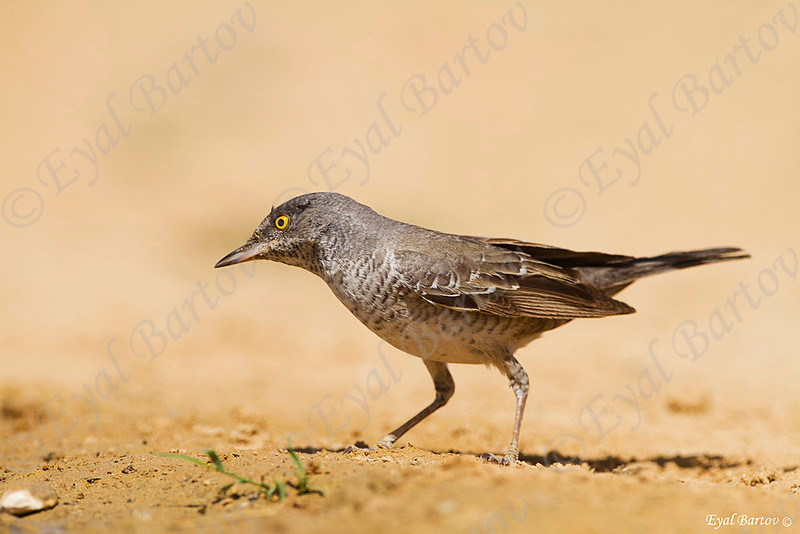 סבכי ניצי / Barred Warbler  / Sylvia nisoria