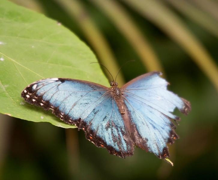Blue Morpho Butterfly on Leaf – Morpho peleides in a Butterfly House