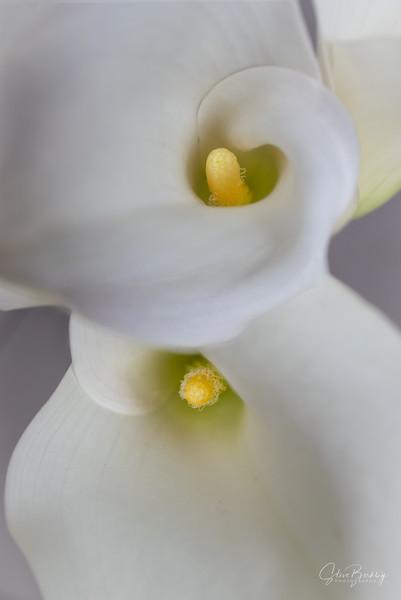 Calla Lily VII