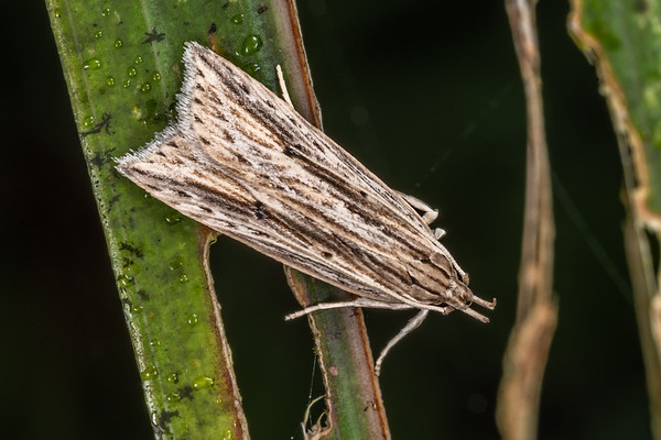 Flat-bodied moths (Depressariidae)