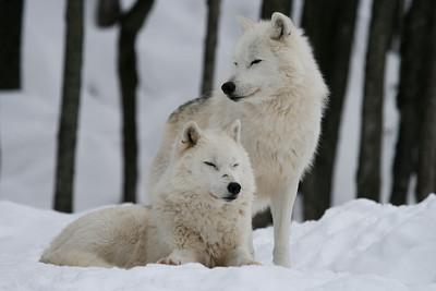 ARCTIC  WOLVES  IN  PARC  OMEGA