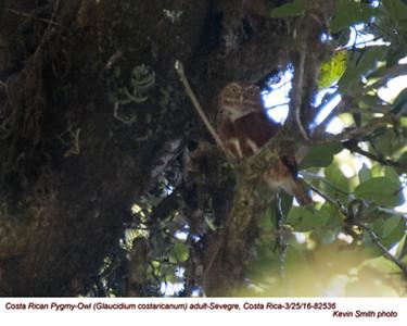 Costa Rican Pygmy-Owl A82536.jpg