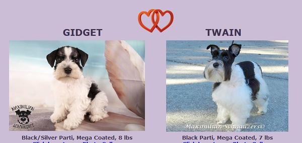 Gidget & Twain Puppies, DOB 7/02/2020