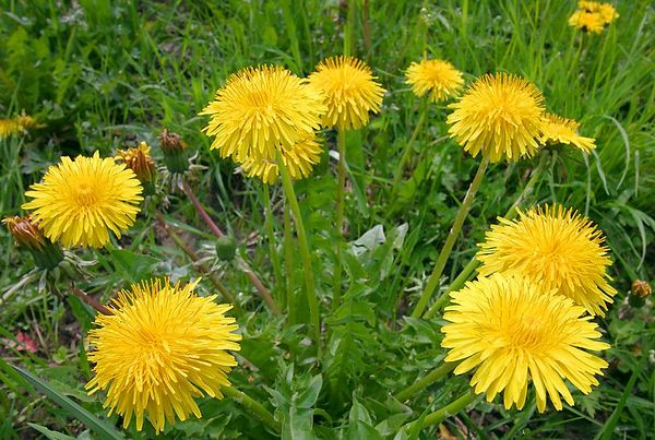 Dandelions on a spring days in the meadows of the Swiss Jura mountains.