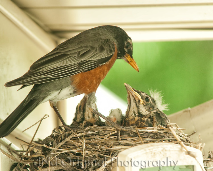 060 Baby Robins Spring 2013.jpg