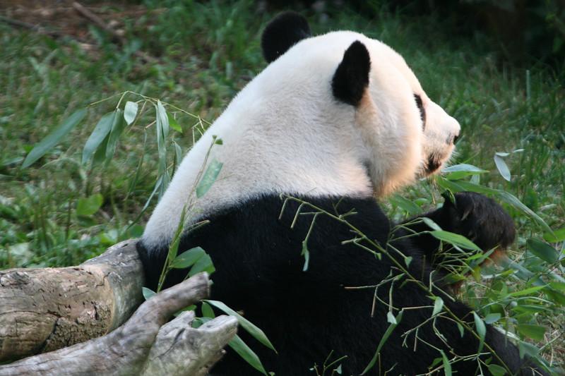 Panda080407_0064.JPG