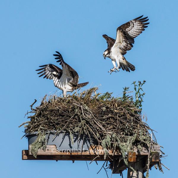 _DSC0451Osprey Landing in Nest.jpg