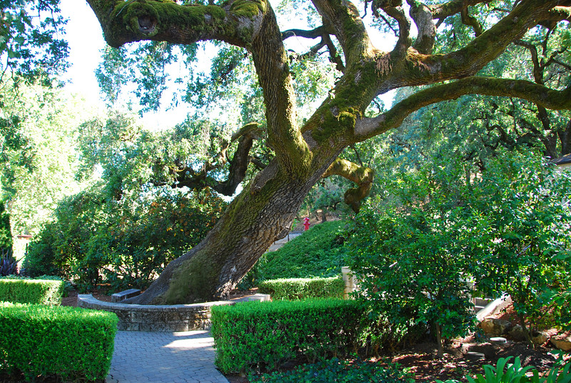 Crooked tree at Beringer.