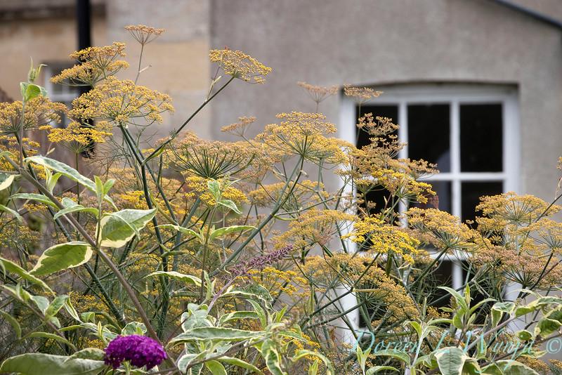 Foeniculum vulgare - Buddleja davidii 'Harlequin' garden textures_9551.jpg