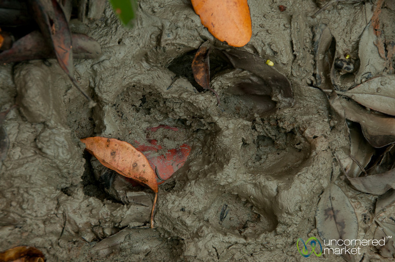 Tiger Print in the Mud - Sundarbans, Bangladesh