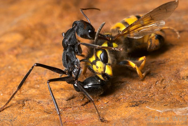 Predator and prey: Myrmecia pyriformis with a european hornet.  Yandoit, Victoria, Australia