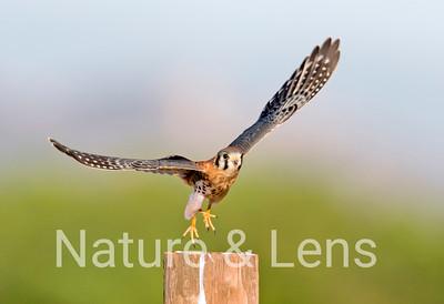 Falcons, American Kestrels
