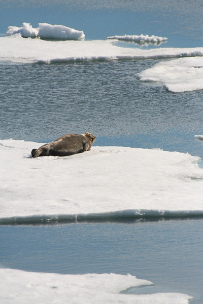 Bearded seal chilling out.jpg