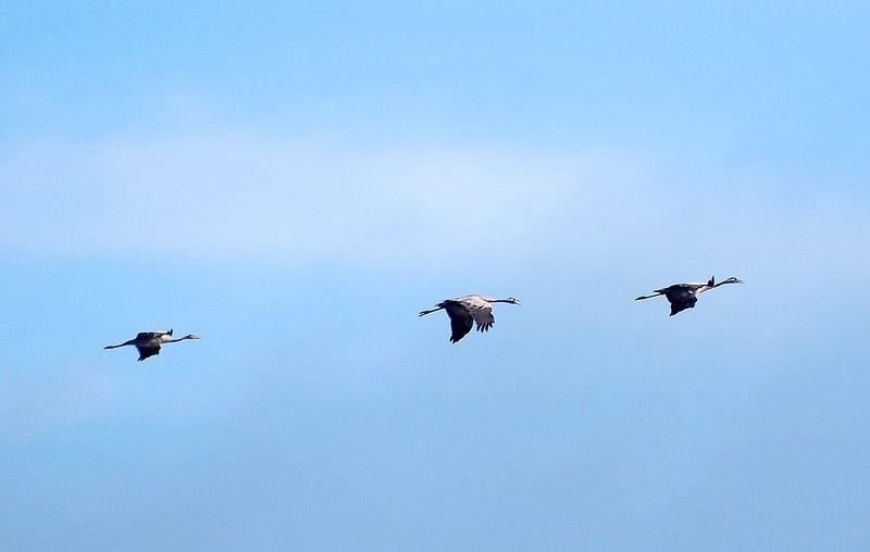 Kraanvogels Bargerveen 01-08-18 (1).jpg