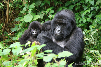 Primates- Gorillas, Chimpanzees, Monkeys