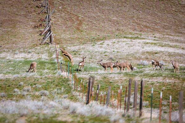 Spring Mule Deer