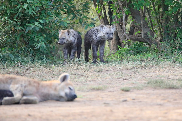 Hyena Den Mara Reserve Kenya 2018