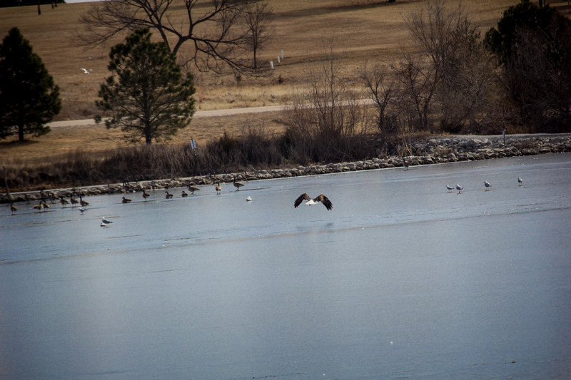 Eagle Soaring lake-7120.jpg