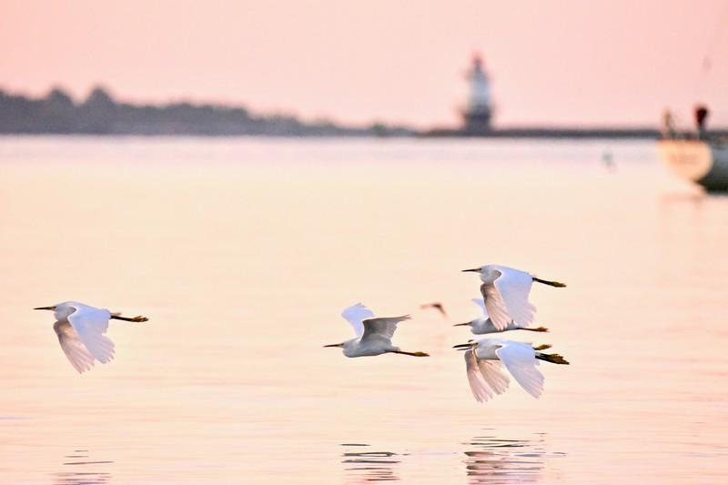 Snowy Egret 10 .jpg