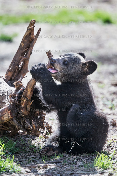 Bear Gallery