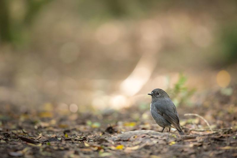 Robin at Orokonui Ecosanctuary