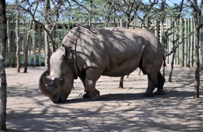 worlds-last-male-rhino-getting-help-from-tinder-dating-app