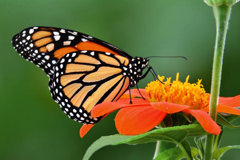 Monarch on Orange Mexican  Sunflower
