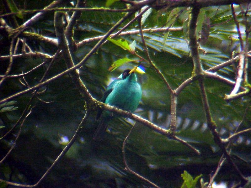 Green Honeycreeper male at La Selva Costa Rica 2-11-03 (50898138)