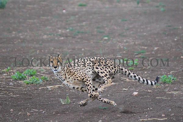 Animal Ark Cheetah Dash June 28.2020