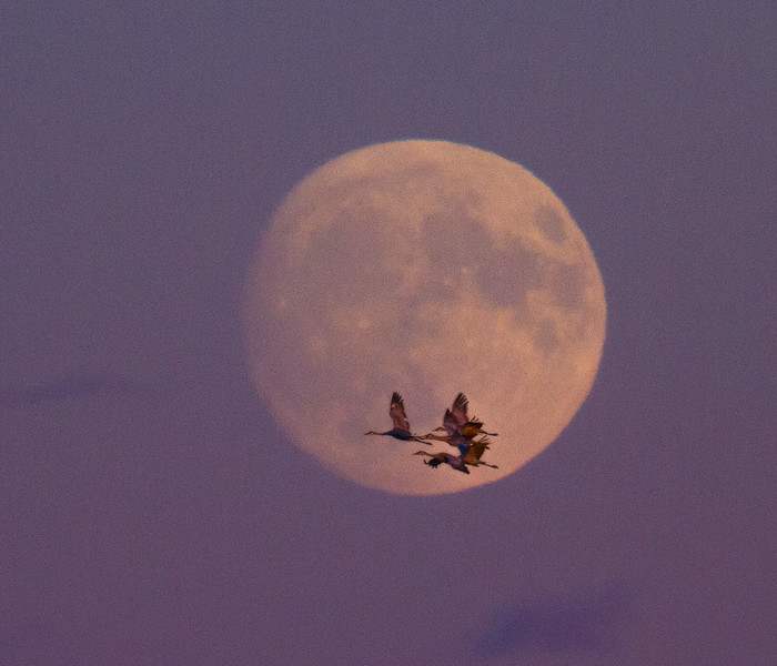 Sandhill Crane full moon fly in flight Crex Meadows Grantsburg WI IMG_1931.jpg